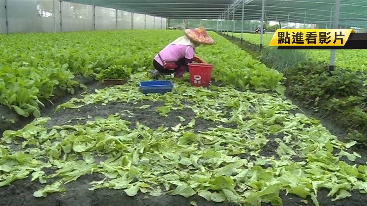 下一個禮拜雨!蔬菜泡爛、病蟲害 菜價平均漲2成