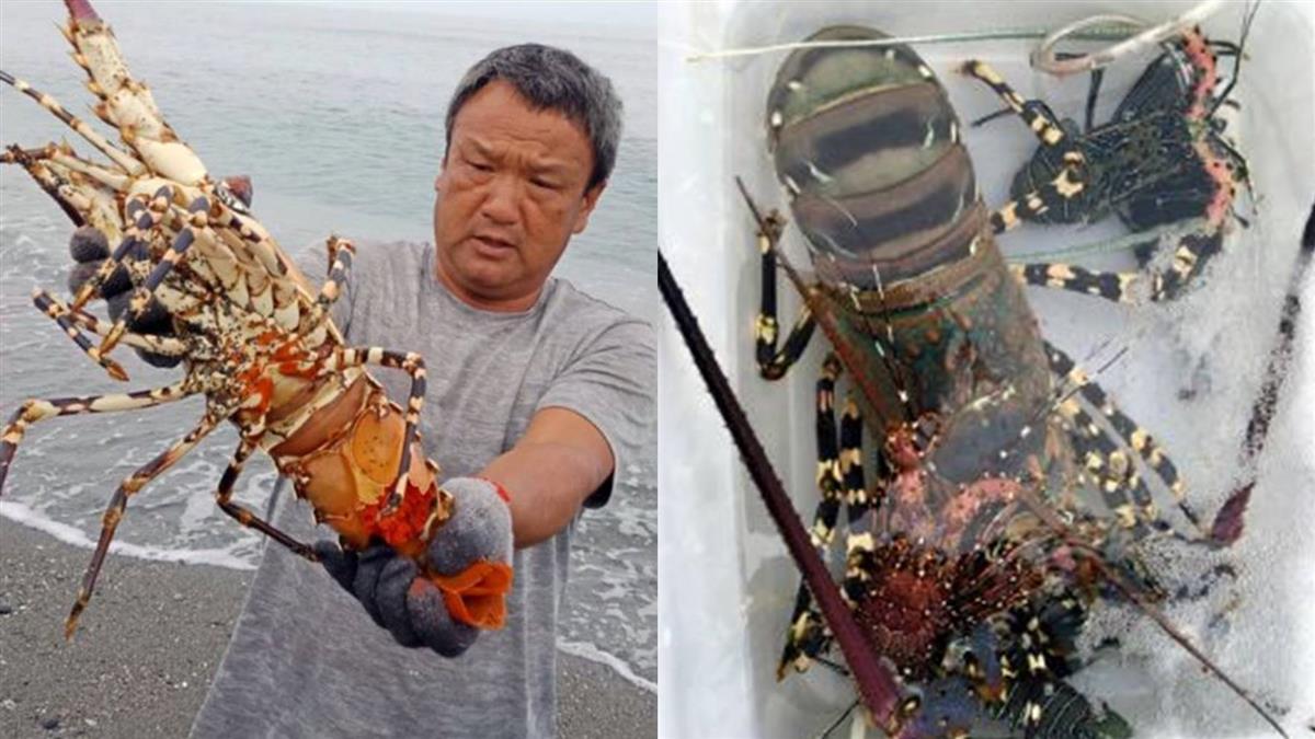 比一般大5倍!漁民見抱卵龍蝦  這樣做超暖