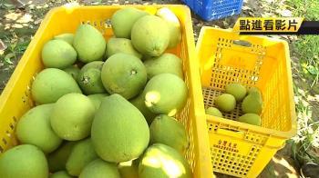 颱風逼近!斗六柚農搶時間趕採收