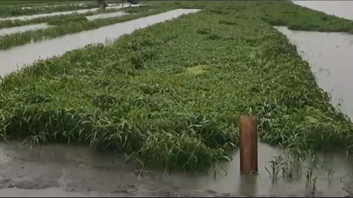 白鹿颱風生成!龍鬚菜破百 蛤仔飆漲三成