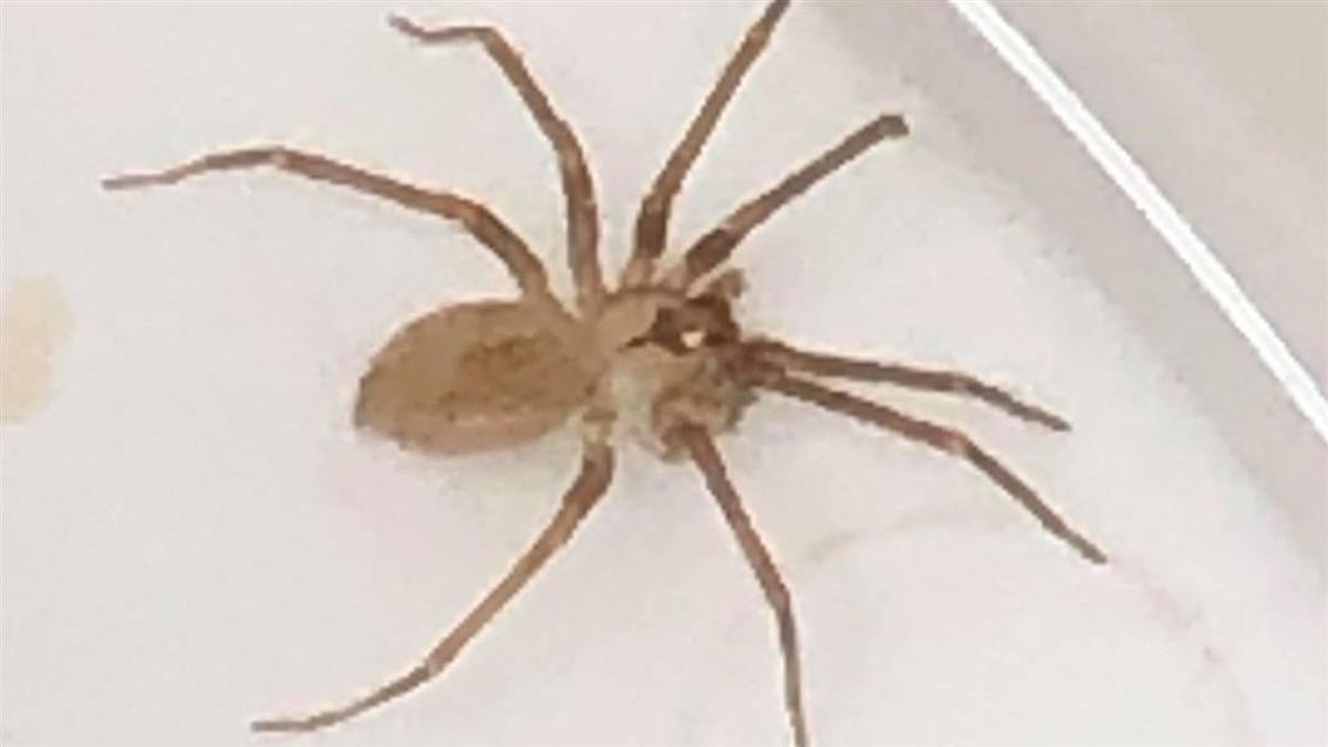 有水聲?女耳裡潛伏毒蜘蛛…被咬傷口恐爛如肉糜