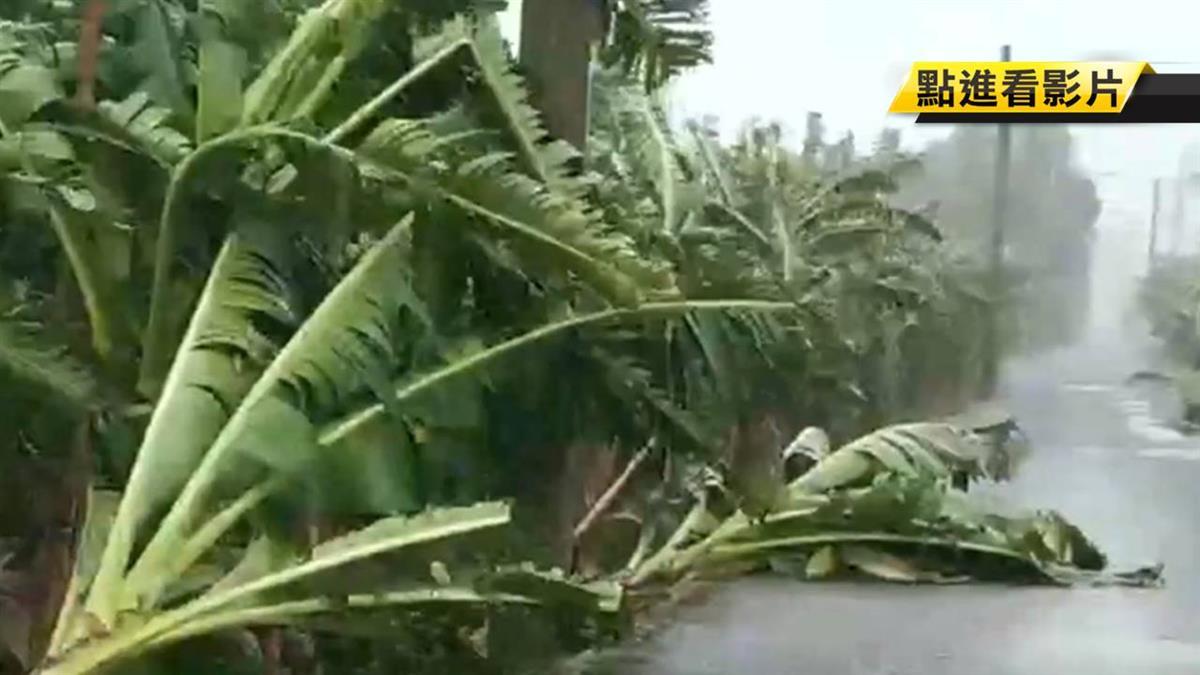 大雨強風!玉米、香蕉樹全倒 農民搶收三星蔥