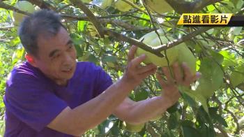 柚子自採一袋30斤300元!罹癌柚農證實網瘋傳