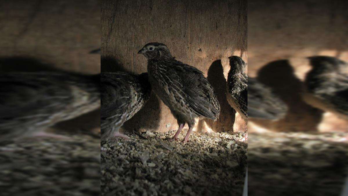 嘉義新增1例禽流感 今年累計全台達48例