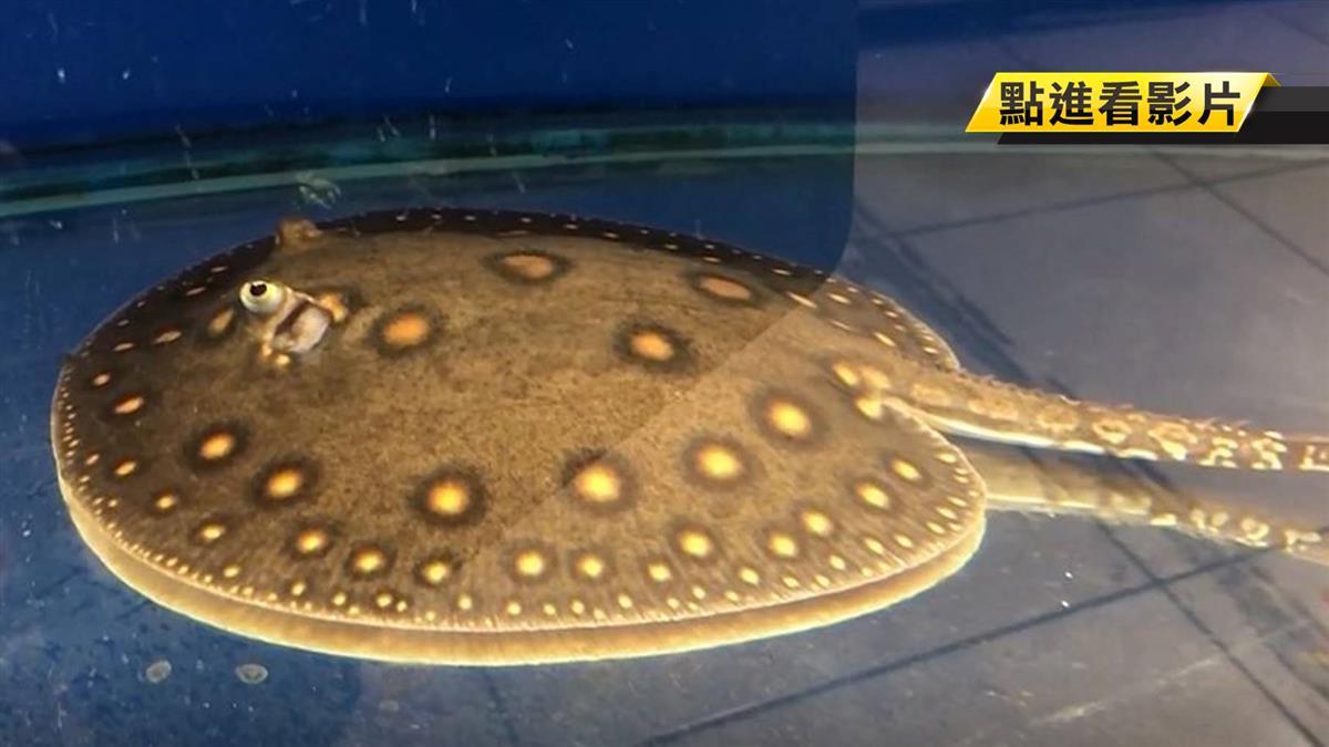 水中地虎仍發威! 稀有突變種魟魚身價逾百萬