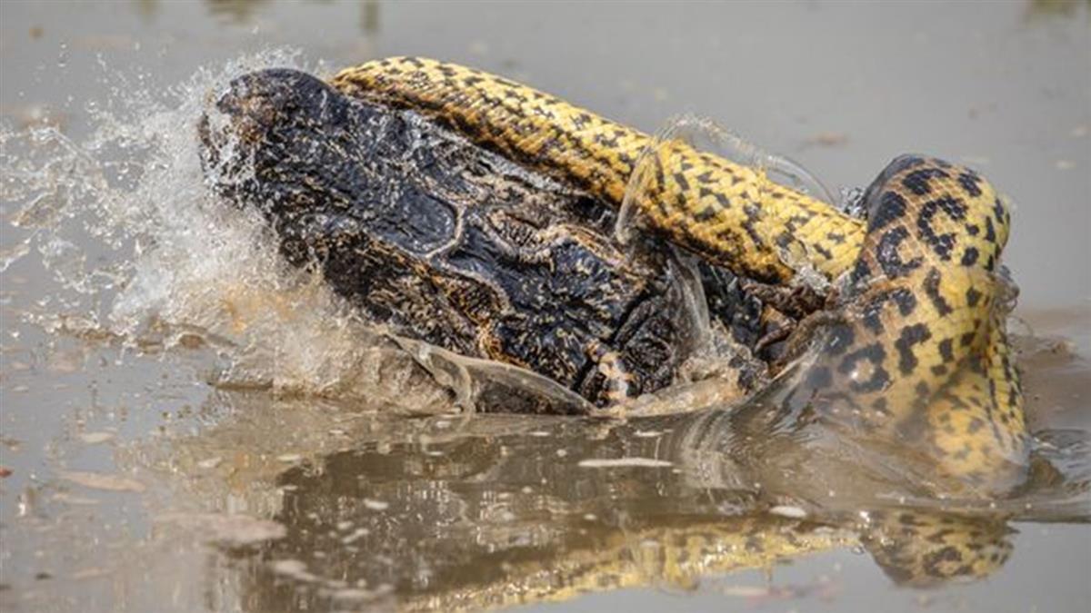 8公尺巨蟒廝殺鱷魚!8分鐘死纏 擰斷4條腿