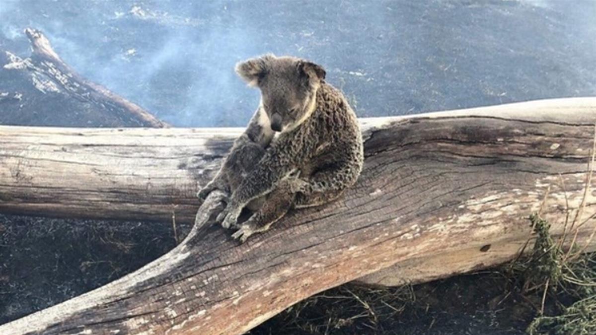 只要孩子好!無尾熊媽媽被燒焦 緊抓樹幹不敢動
