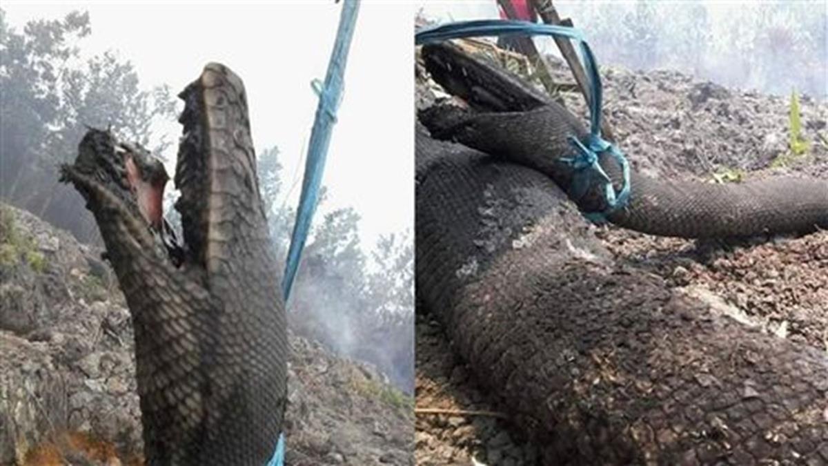 印尼森林狂燒!巨蟒痛苦張口…成僵硬焦屍