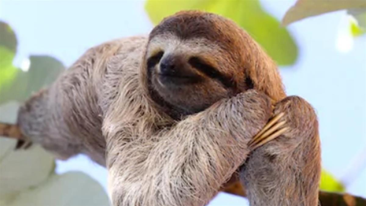 樹懶爬行像人?實際畫面驚呆網:超可怕