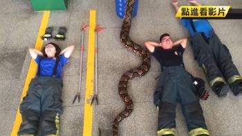 勇消開箱!6.5米蟒蛇驚險活逮 乖躺合影