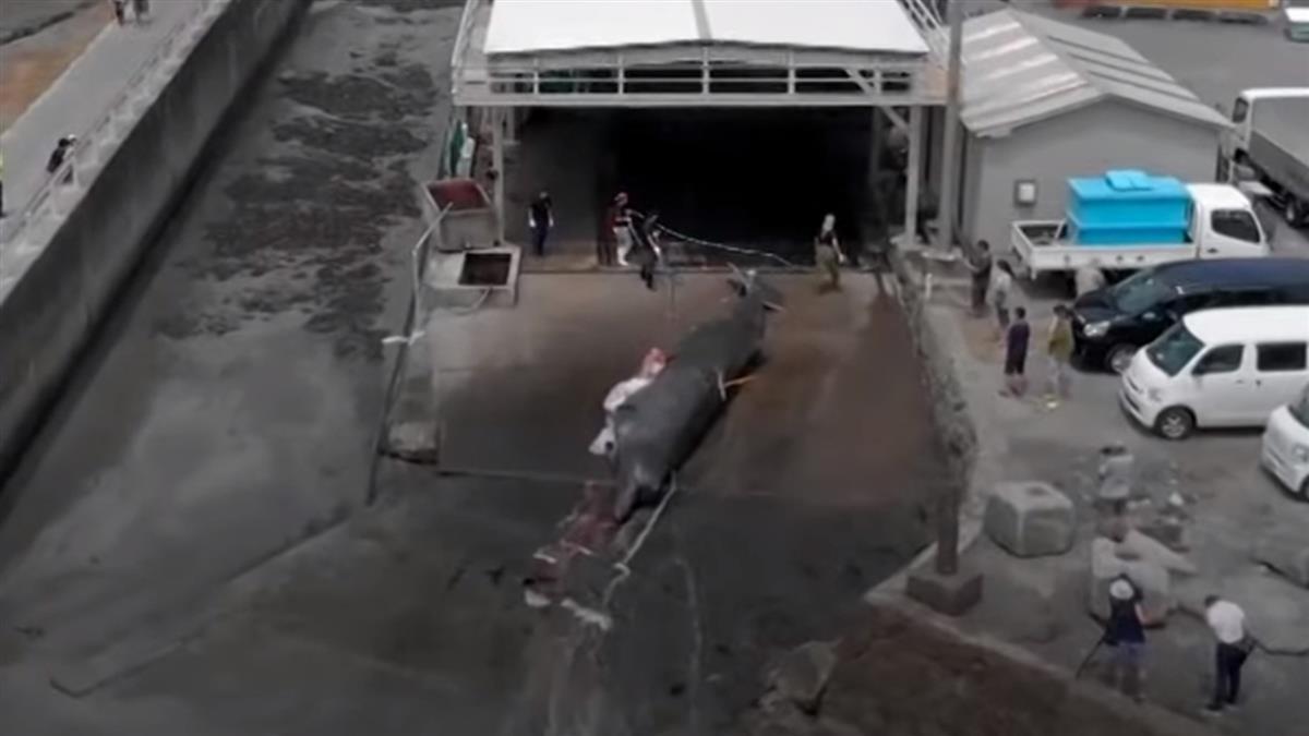 日本捕鯨恢復:為何家長帶小孩參觀鯨魚屠宰場?