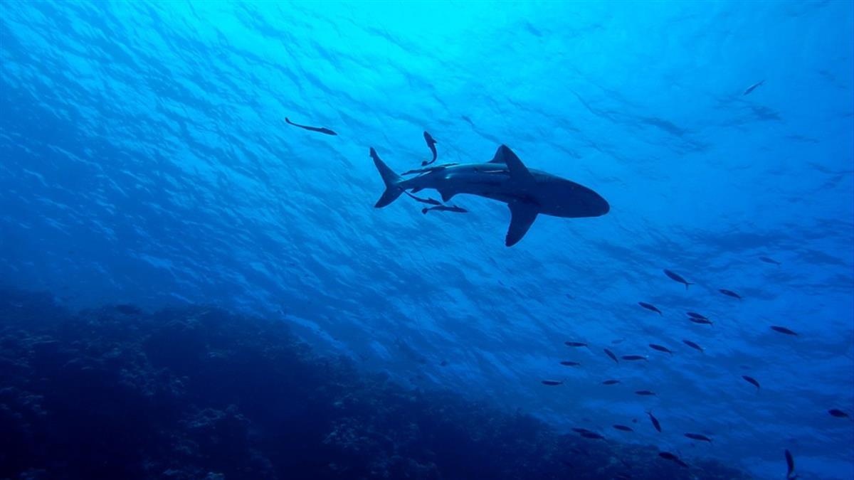 游泳度假!女遭最凶猛鯊魚突襲 雙手被扯斷