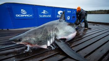 啪啪太激烈!4M大白鯊被咬爆 頭啃掉一大塊