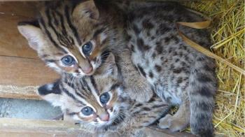 台灣石虎瀕臨絶種:科技介入動物保育