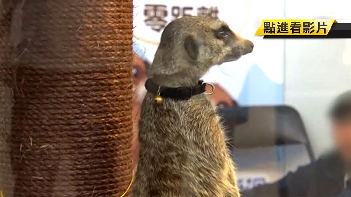 寵物展狐獴任人摸 民眾質疑來源不合法