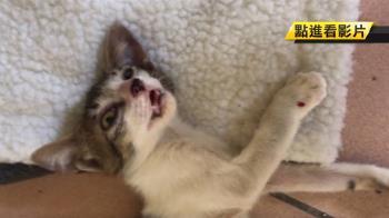 認養9隻貓卻先後虐殺  狠男遭肉搜躲分局自首