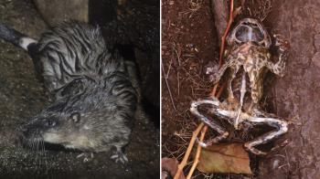 澳洲水鼠精凖開膛剖腹 毒蟾蜍心肝變美食