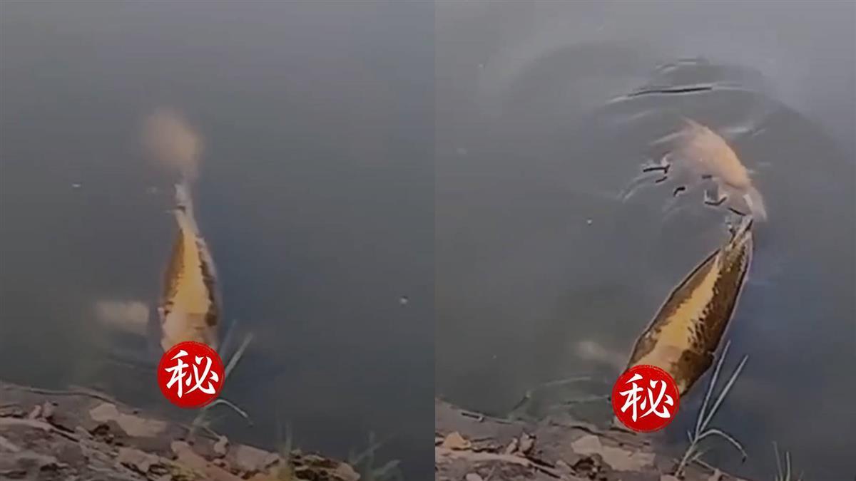 人面魚浮上水面!他嚇壞秒想起:魚肉好吃某