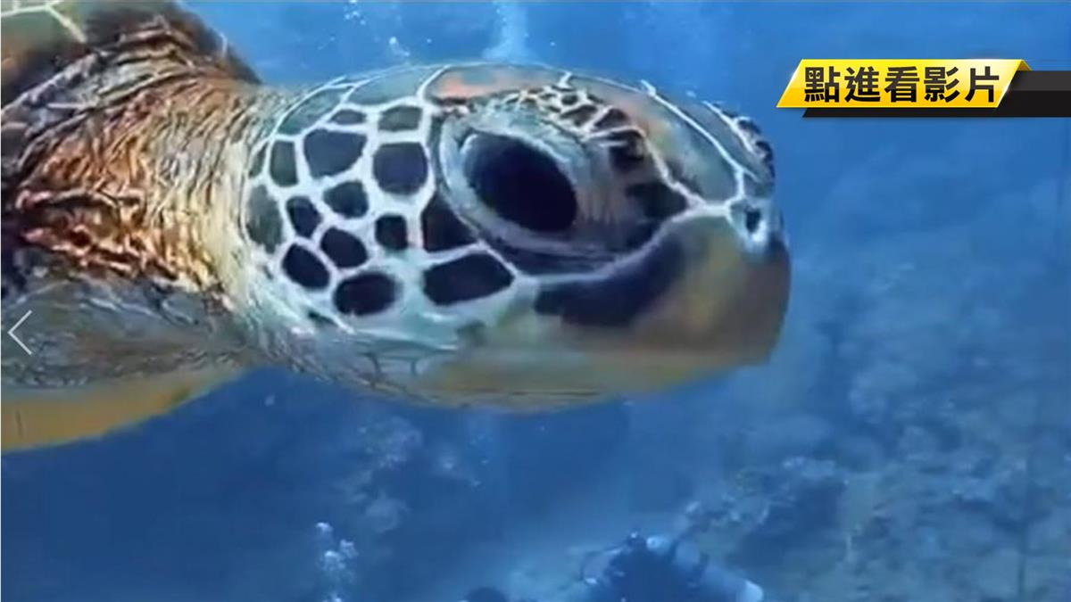 摸一次噴30萬!海龜投懷送抱 遊客手抱胸避開罰