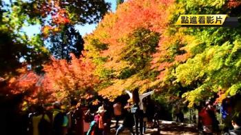全台海拔最高!福壽山4成楓葉轉紅 遊客瘋朝聖