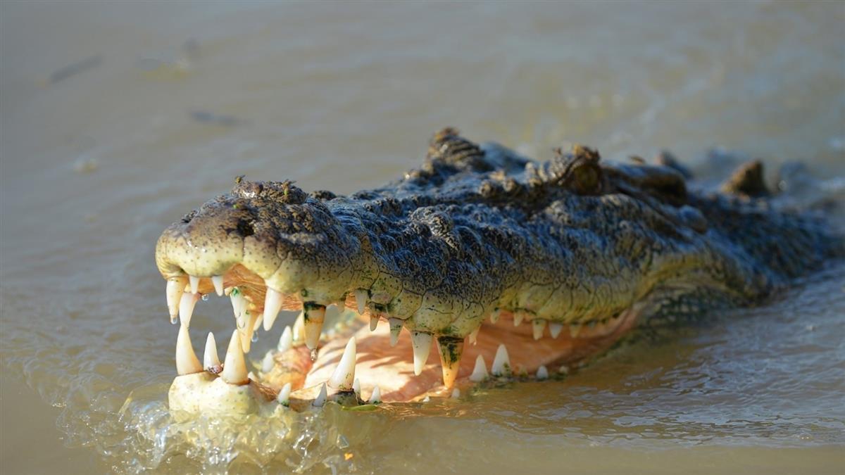 4公尺巨鱷叼走妹妹!15歲哥英勇砸石搶命