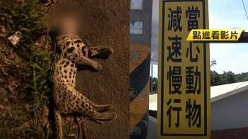 近8年調查!亞洲錦蛙成路殺最大宗