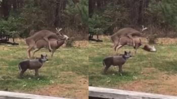 公鹿發情!啪一半…配偶突斷頭 嚇到秒軟