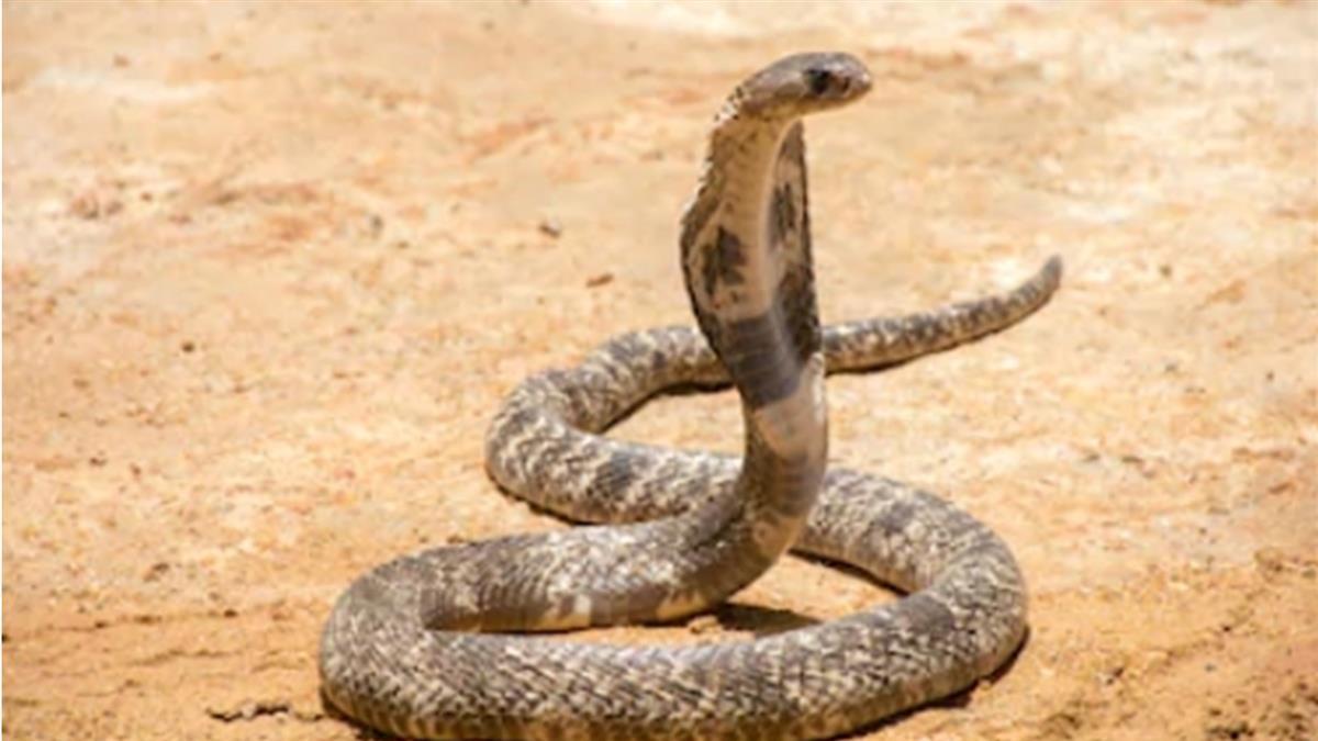 被毒蛇咬…師堅持繼續上課 女童苦撐40分鐘中毒亡
