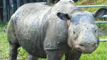 全球剩80頭!大馬最後一隻蘇門答臘犀牛癌逝