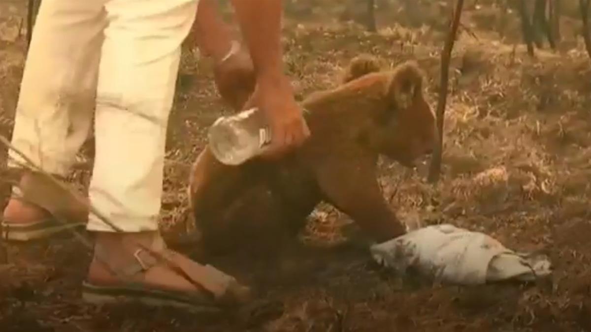 澳大利亞森林大火 受傷考拉傷重被安樂死