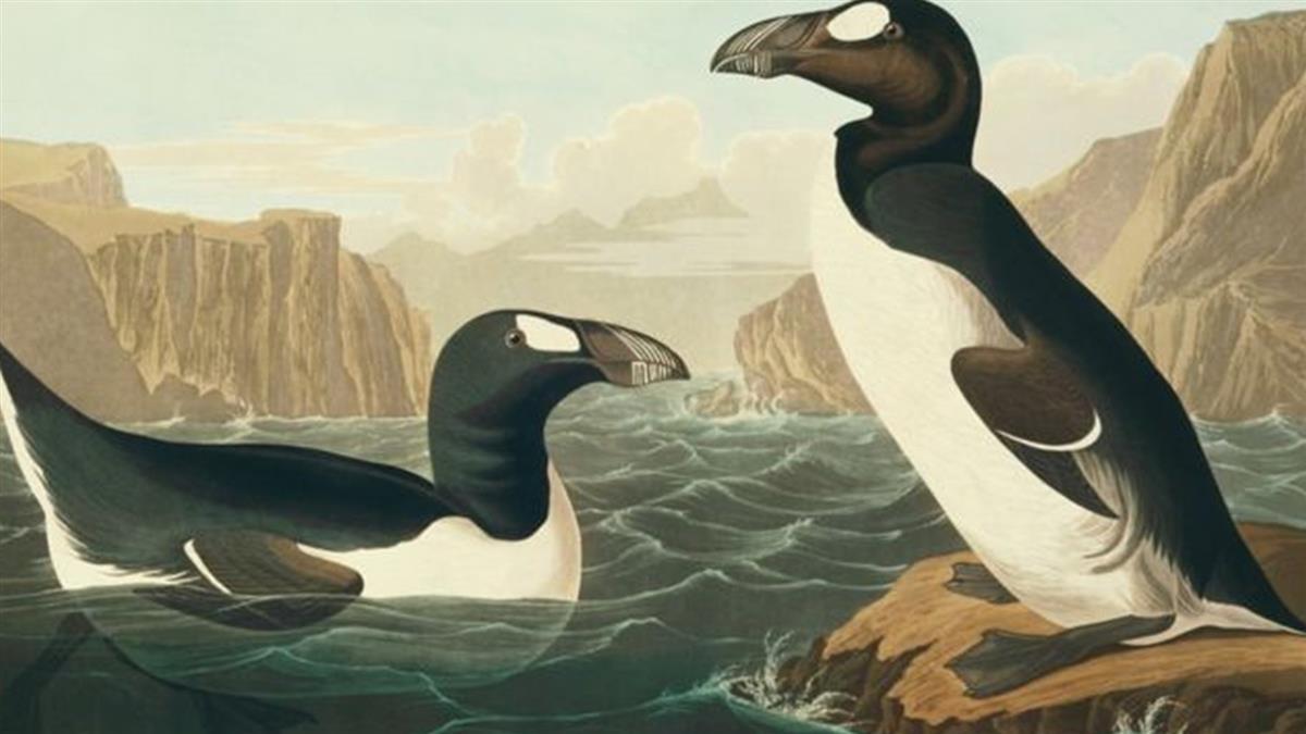 地球的憂傷:曾經常見的大海雀因人類活動遭滅絶