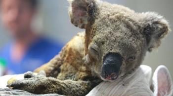 澳大利亞森林大火:動物們的生存法則