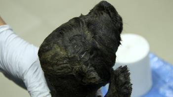 俄羅斯驚現1.8萬年前冷凍「幼崽」疑似世界最古老狗