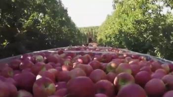 美國新品種蘋果上市 冰箱放一年都不壞
