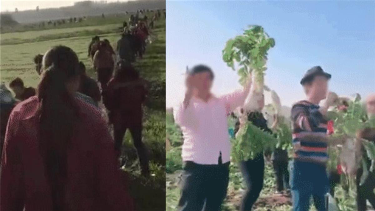 誤傳免費!價值200萬蘿蔔遭拔光 菜農痛哭