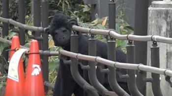 黑猩猩暴走逃脫!50人圍捕 竟是工讀生