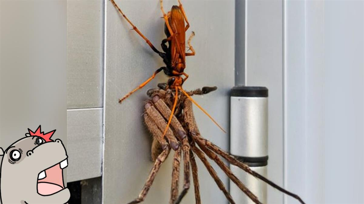 開門遇分屍現場 男見橘蜂吞蜘蛛嚇:剩頭