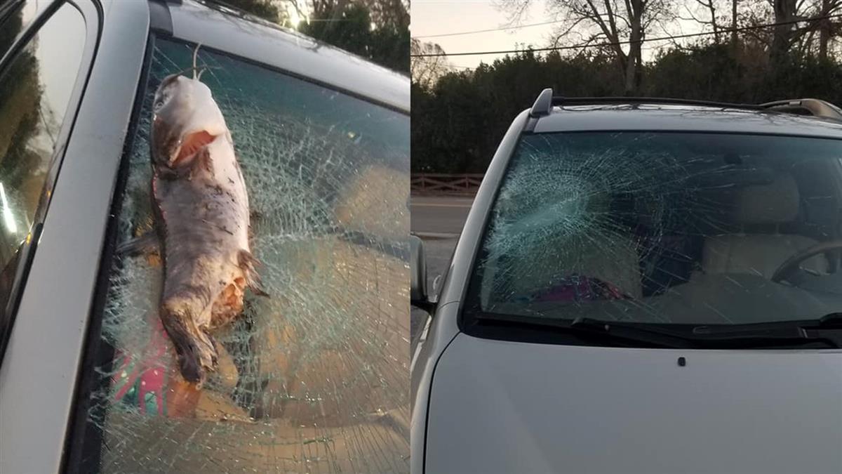 天降大尾鯰魚!擋風玻璃遭砸碎嚇壞1.4萬人