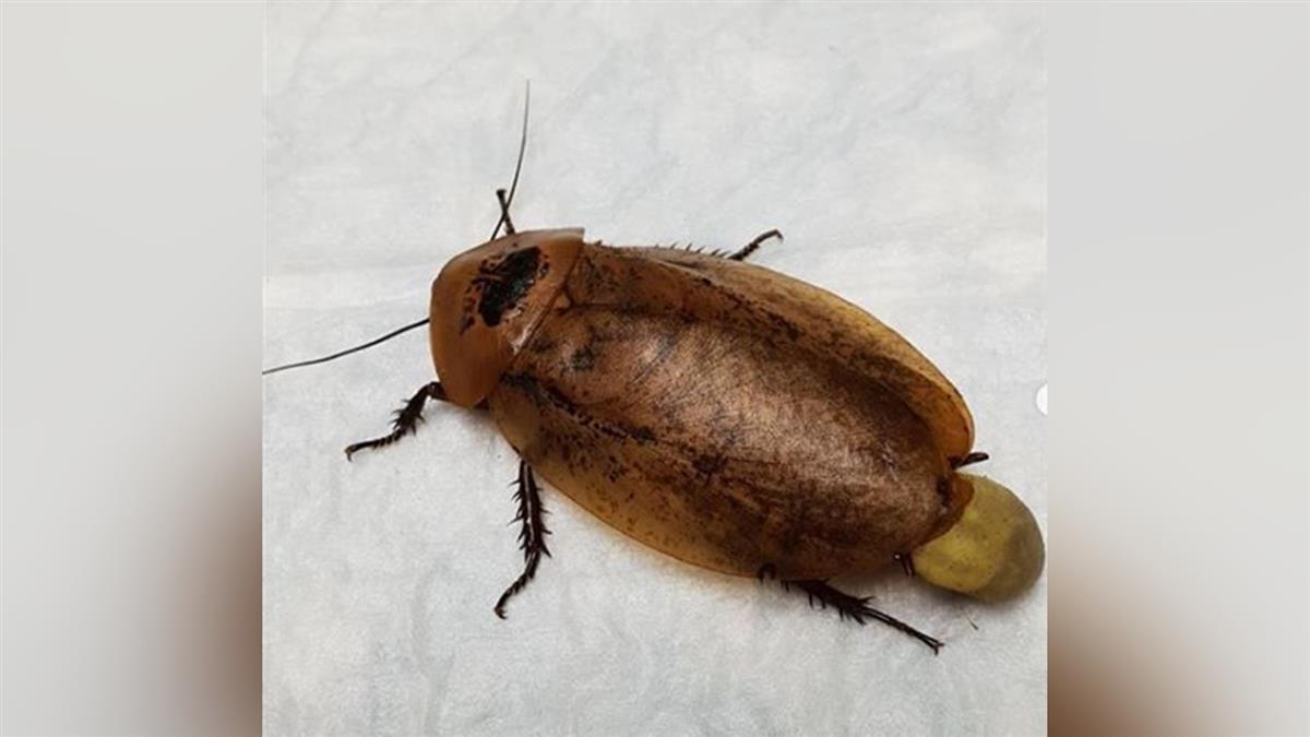 8cm巨大蟑螂「難產」 主人急送醫保住一命