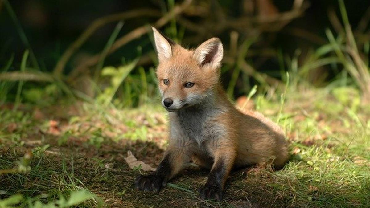 父出遠門叮嚀餵狐狸 女兒看呆:吃得比我好