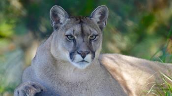 3美洲獅吃人腐屍遭擊斃 官員:異常行為