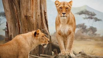 南非休閒農場8獅遭肢解!鼻爪全砍下