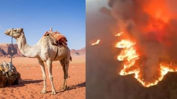 澳洲野火狂燒!駱駝喝太多水 今起撲殺1萬隻