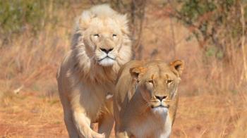屠殺10獅子奪16命 歹徒餵毒雞肉割鼻爪