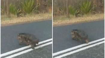 澳洲野火狂燒!小袋熊露粉紅皮膚過馬路