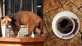 終生關窄籠逼吃咖啡果 麝香貓咖啡用命換的代價