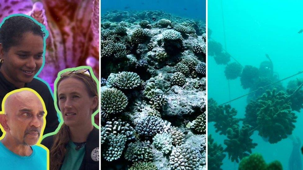氣候變化:人工養殖場為拯救珊瑚礁提供新技術
