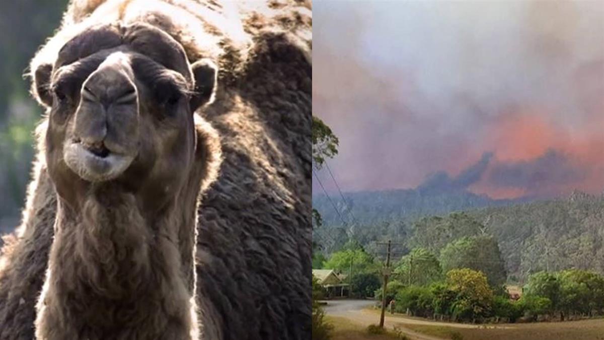 駱駝喝太多水 澳洲直升機載槍手射殺5000頭