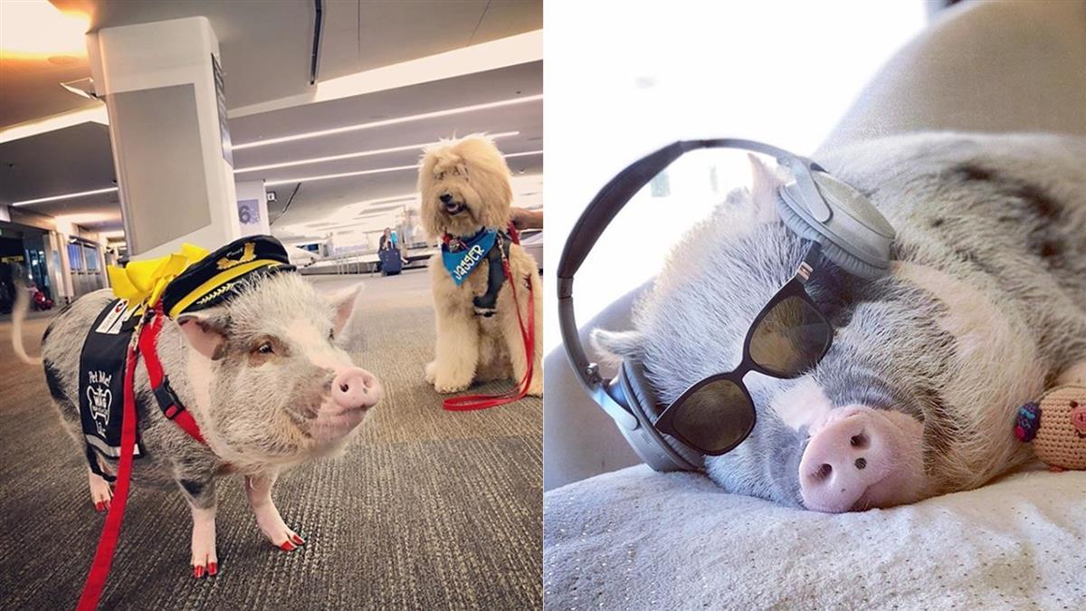 航班延遲好焦慮?首隻機場療癒豬賣萌上工
