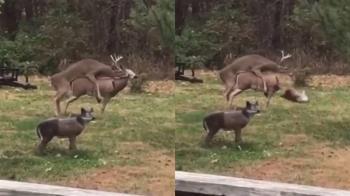 公鹿發情急撲…配偶突斷頭 嚇到秒軟